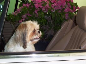 Zuzi in car with flowers (close up)